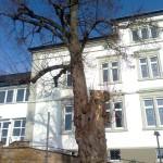 Fällung der Winterlinde vor der Carl-Orff-Schule