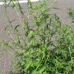 Ambrosia-Pflanzen können Allergien auslösen