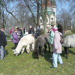 Mit Lamas auf den Letzenberg