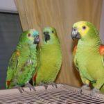 Vögel als Haustiere, vom Wellensittich bis zum Papagei