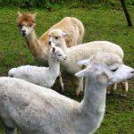 Wandern mit Lamas und Alpakas