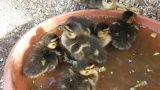 8 kleine Entenküken