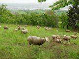 Vierbeinige Landschaftspfleger im Einsatz am Steinsberg