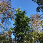 Viele Bäume durch Trockenschäden nicht mehr stand- und bruchsicher
