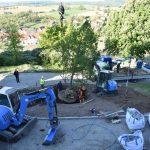 Krim-Linde an der Burg Steinsberg gepflanzt