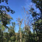 Einschlag absterbender Bäume in den Gemeindewäldern im Rheintal