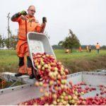 Reifes Obst für neue Bäume