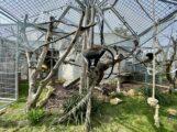 Roloway-Meerkatzen ziehen ins Große Affenhaus