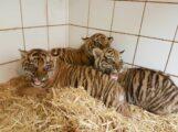 Tiger-Nachwuchs im Zoo Heidelberg entwickelt sich gut