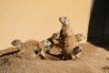 Sechs junge Präriehunde gesichtet – vorerst!